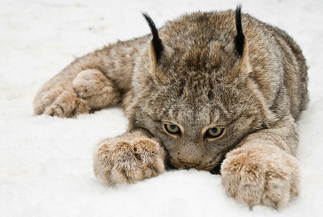 Lynx-by-Raymondbarlow